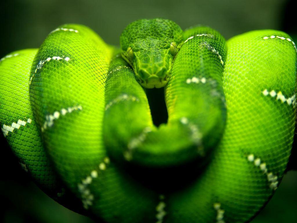 Змея на шоу том-помдель по-американски